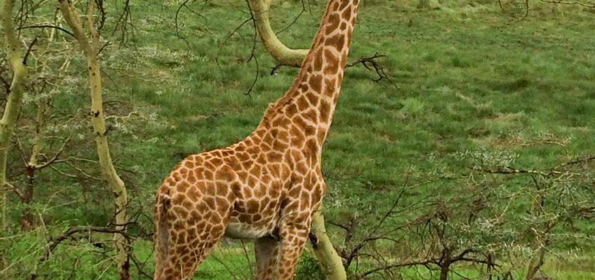 giraffe, Arusha National Park, Tanzania