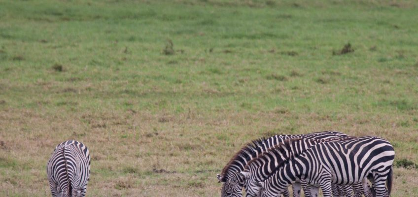 zebras, Arusha National Park, Tanzania