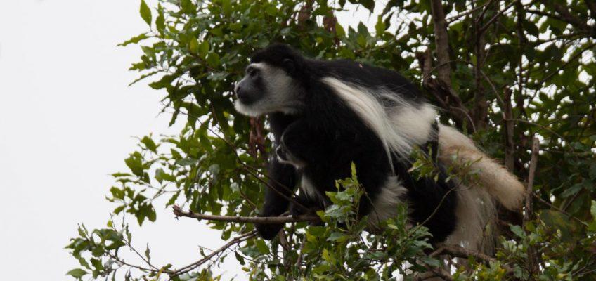 black colobus monkey, Arusha National Park, Tanzania