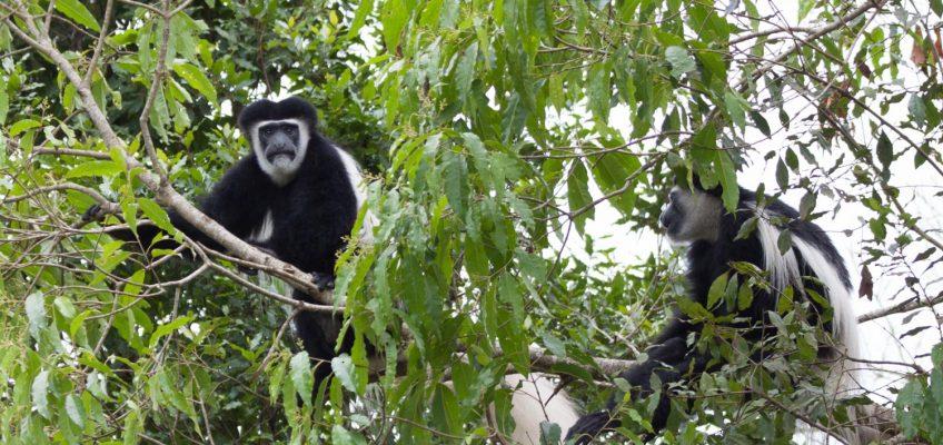 black colobus monkeys, Arusha National Park, Tanzania