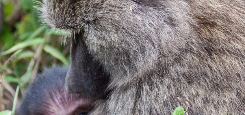baboon and baby, Arusha National Park, Tanzania