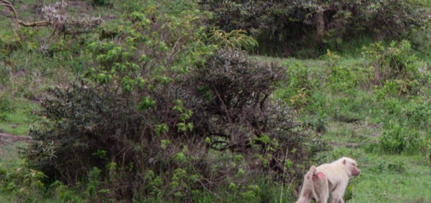 albino baboon, Arusha National Park, Tanzania