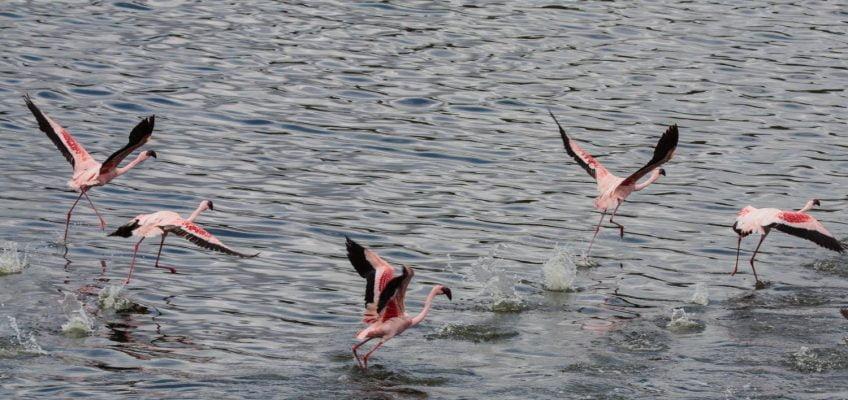 flamingos flying, Arusha National Park, Tanzania
