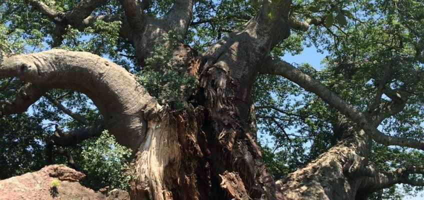 baobab, South Africa