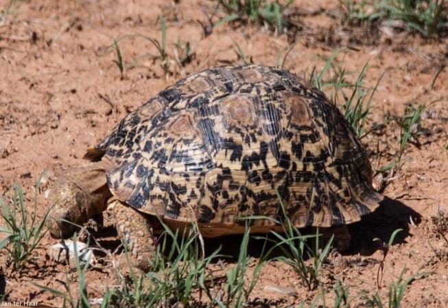 tortoise, Addo Elephant Park