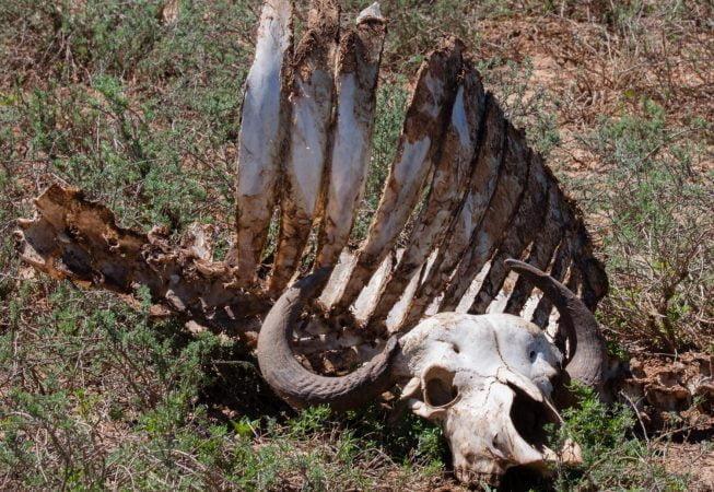 buffalo carcass, Addo Elephant Park
