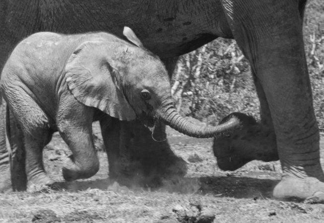 baby elephant running, Addo Elephant Park