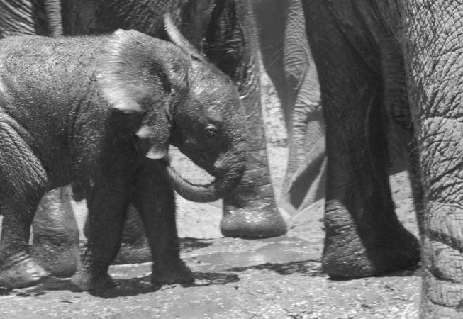 baby elephant, Addo Elephant Park