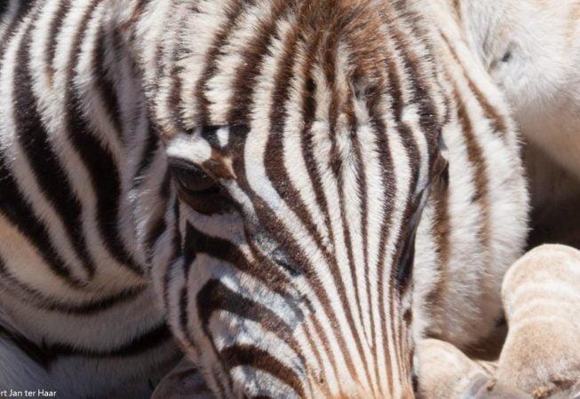 baby zebra close up, Addo Elephant Park