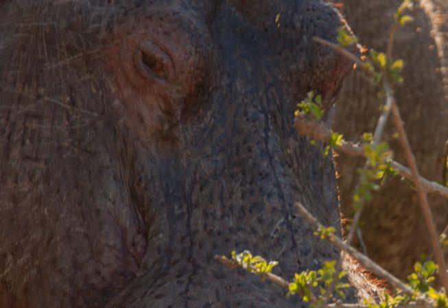 hippo, Addo Elephant Park