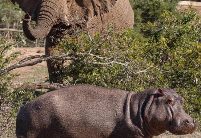 elephant and hippo, Addo Elephant Park