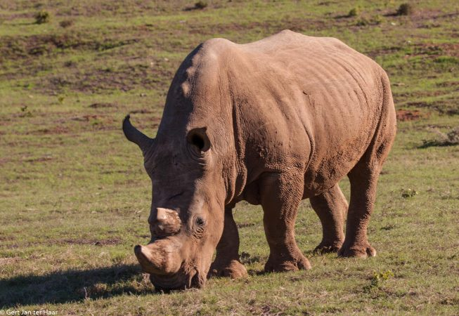 rhino, Addo Elephant Park