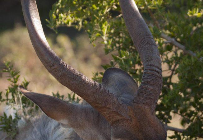 waterbuck, Addo Elephant Park