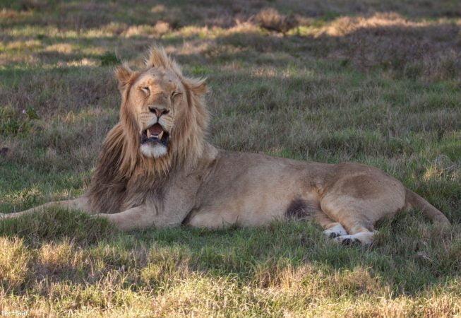 lion resting, Addo Elephant Park