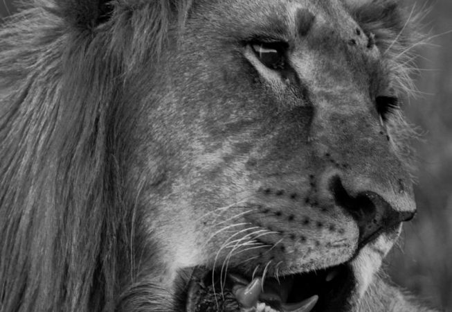 lion head, Addo Elephant Park