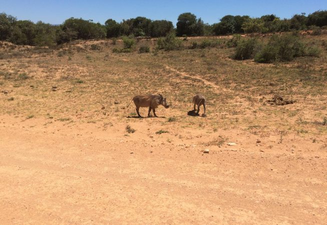 two warthogs in Addo Elephant Park