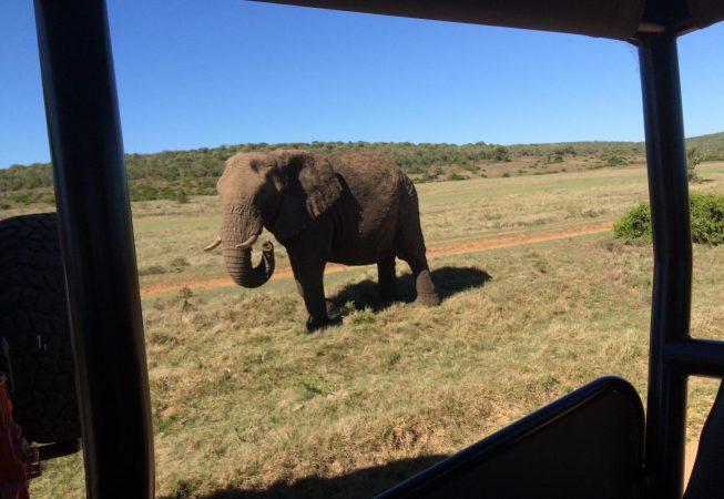 lonely elephant in Addo Elephant Park