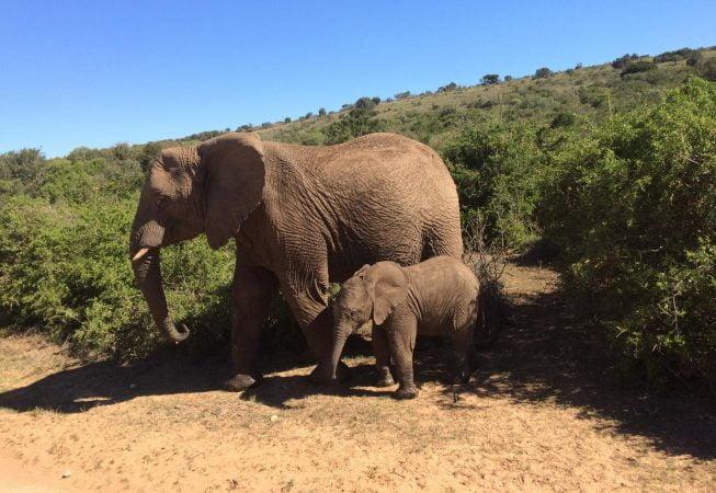 two elephants in Addo Elephant Park